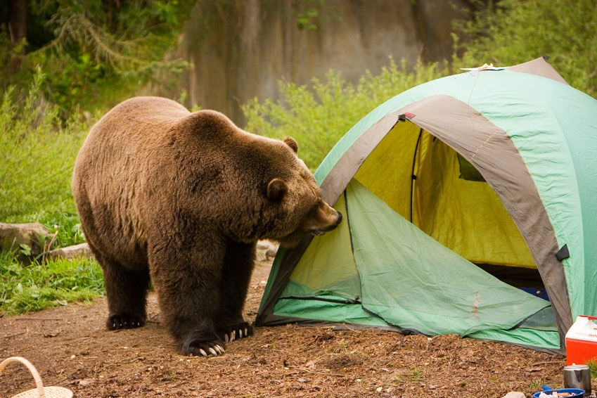 Curious Bear looking for food near a tent